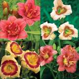 Daylily Mini Spring Collection