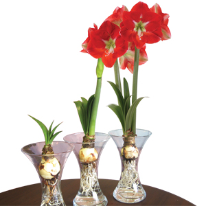 Hippeastrum Glass Vase