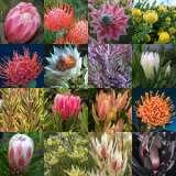 Protea-Spring-Collection-16