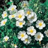 Rock-Rose-Sage-leaf-15