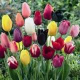Tulip Single Late Mixed