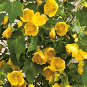 Abutilon Lucky Lantern Yellow 15 Fm 14234142pa