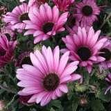 Arctotis Silver Pink 15 Gh