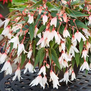 Begonia Bossa Nova Pure White 15 15047444 Highsun