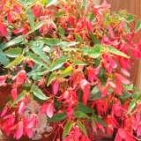 Begonia Bossa Nova Rose 15 Highsun Usp2014 245