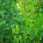 Creeping Fig 15 St96300686 - Garden Express Australia