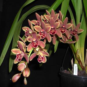 Cym Orchid Indian Summer Pot 15 2 002 - Garden Express Australia