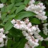 Deutzia Candidissima