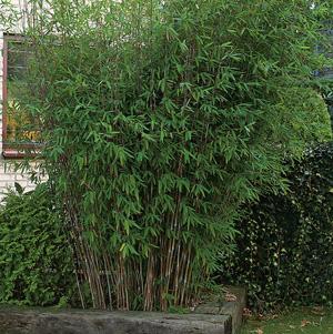 Fountain Bamboo