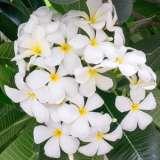 Frangipani Everlasting Love 15 St 279835289