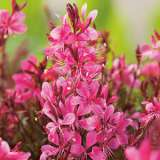 Gaura Baby Butterfly Rose 15 Fm 14259272pa