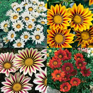 Gazania Collection 4 Plants
