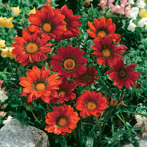 Gazania Big Kiss Red 15 Highsun
