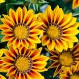 Gazania_Big_Kiss_Yellow_Flame_2013