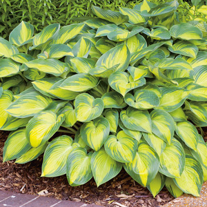 Hosta Minute Man