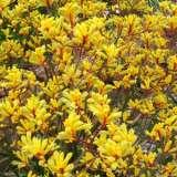 Kangaroo Paw Yellow Gem
