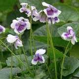 Native Violet 151