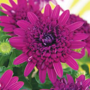 Osteospermum 3d Purple Blue 15 Lr Ball