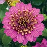 Osteospermum 3d Purple Envy 15