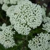 Ozothamnus Winter White 15 Longwood Gardens Dsc01077 Wiki