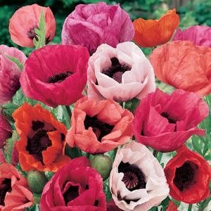 Papaver Oriental Poppy Mixed 15 Mxd Nor91868