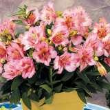 Princess Lily Theresa Pot 15 - Garden Express Australia