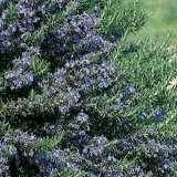Rosemary Blue Lagoon 15 - Garden Express Australia