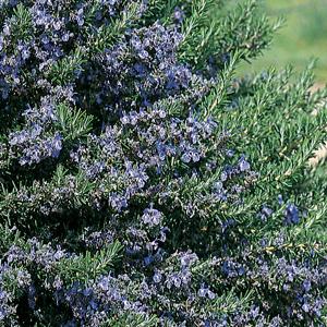 Rosemary Blue Lagoon 15