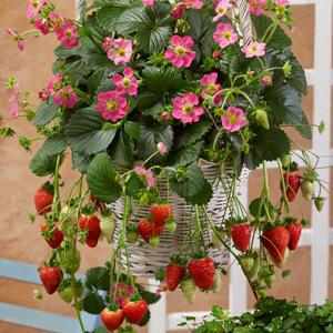 STRAWBERRY FRAGOO PINK - Garden Express