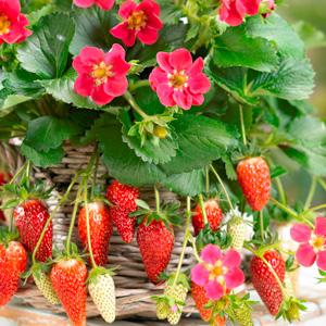 Strawberry Fragoo Rose 15 Highsun - Garden Express Australia