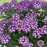 Verbena Big Eye Purple 15 BALL