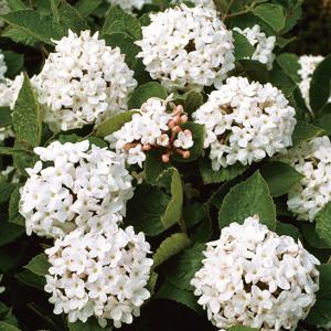 Viburnum Carlesii 15 Fm 16001147pa