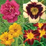 DAYLILY SUMMER COLLECTION 1