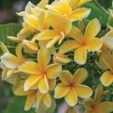 Frangipani Darwin Yellow