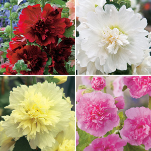 HOLLYHOCK SPRING CELEBRITIES COLLECTION