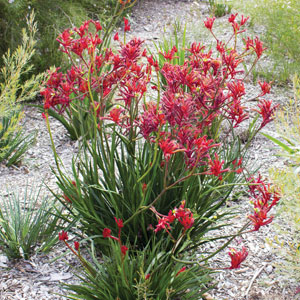 Kangaroo Paw Big Red