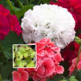 Geranium Marginata White