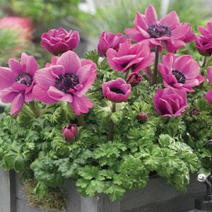 Anemone Poppy Pink