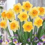 Daffodil Signor - Garden Express Australia