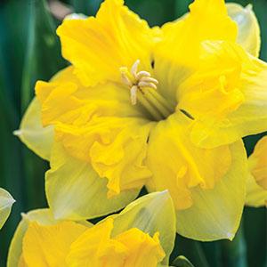 Daffodil Chanterelle