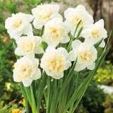 Daffodil Ice King 16 Fm 14231992pa1