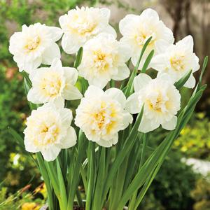 Daffodil-Ice-King-16-FM-14231992PA