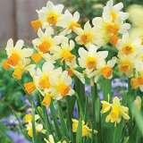 Daffodil Spring Sunshine