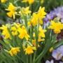 Daffodil-Tete-Tete-16-14137709PA
