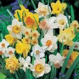 Daffodil_Mixed_15