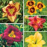 Daylily Autumn Collection