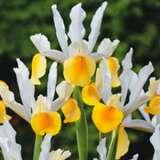 Dutch Iris Angel Wings 16