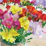 Freesia Hadeco Mixed 1 - Garden Express Australia