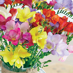 Freesia Hadeco Mixed 1