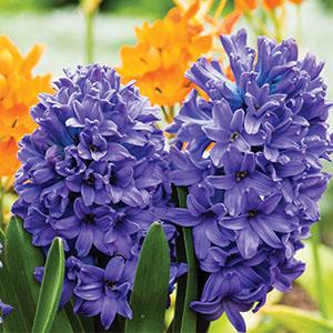 Hyacinth Blue Pearl